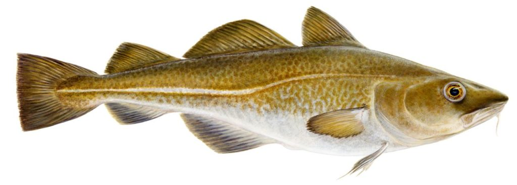 Groundfish species for Atlantic cod fish